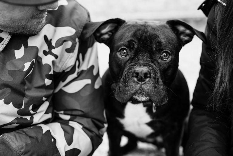 Portrait chien Staffie